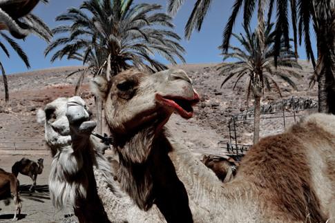 bleeding camel