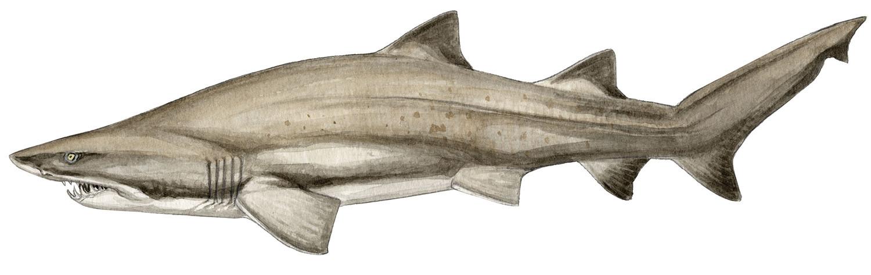 carcharius-taurus