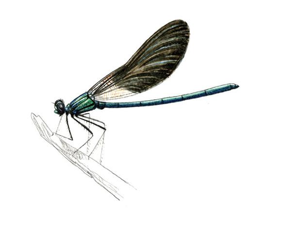 Caloptéryx virgo