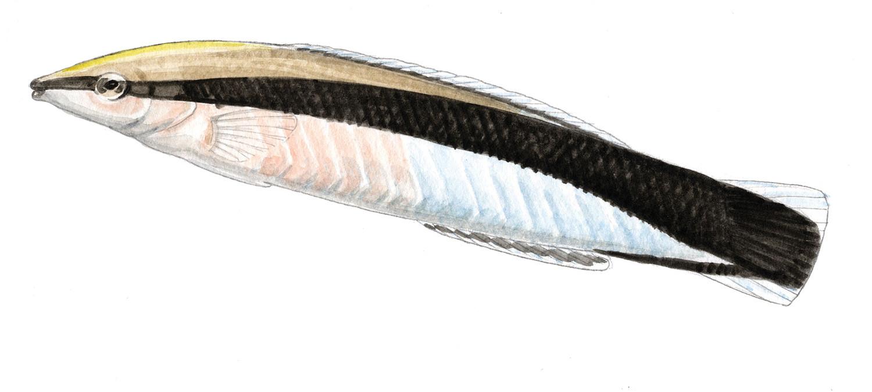 Labroides Dimidiatus
