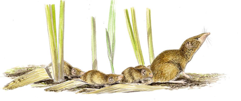 crocidura-suaveolens.jpg
