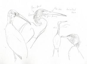 heron-triple-collared.jpg