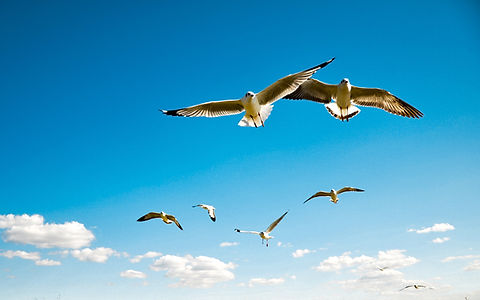 birds-sea-sky-wings-flying-sea-gulls-sca