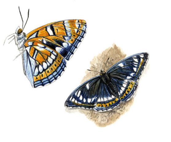 Papillon Sylvain