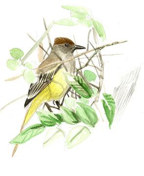 brown-crested-flycatcher.jpg