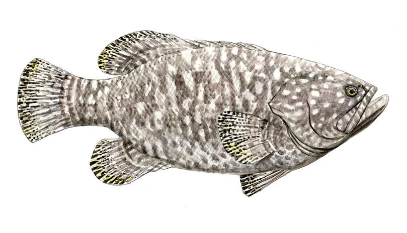 Epiniphelus-lanceolatus