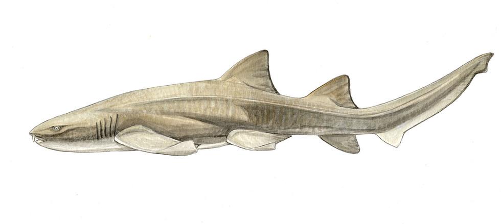 Glinglysmostoma-cirratus