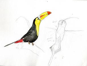 toucan+-hermit.jpg