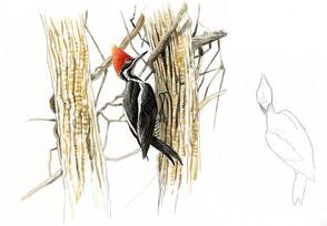 lineatd-woodpecker.jpg