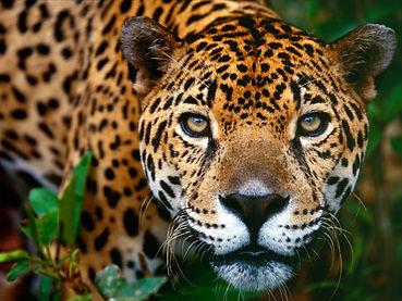giaguaro.jpg