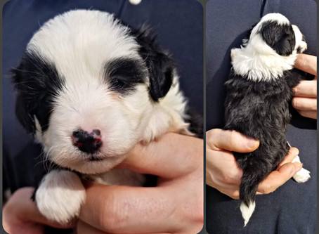 *SOLD* One last toy aussiedoodle available <3