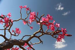Desert Rose, Ethiopia