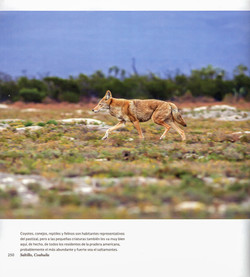 Coyote_MM