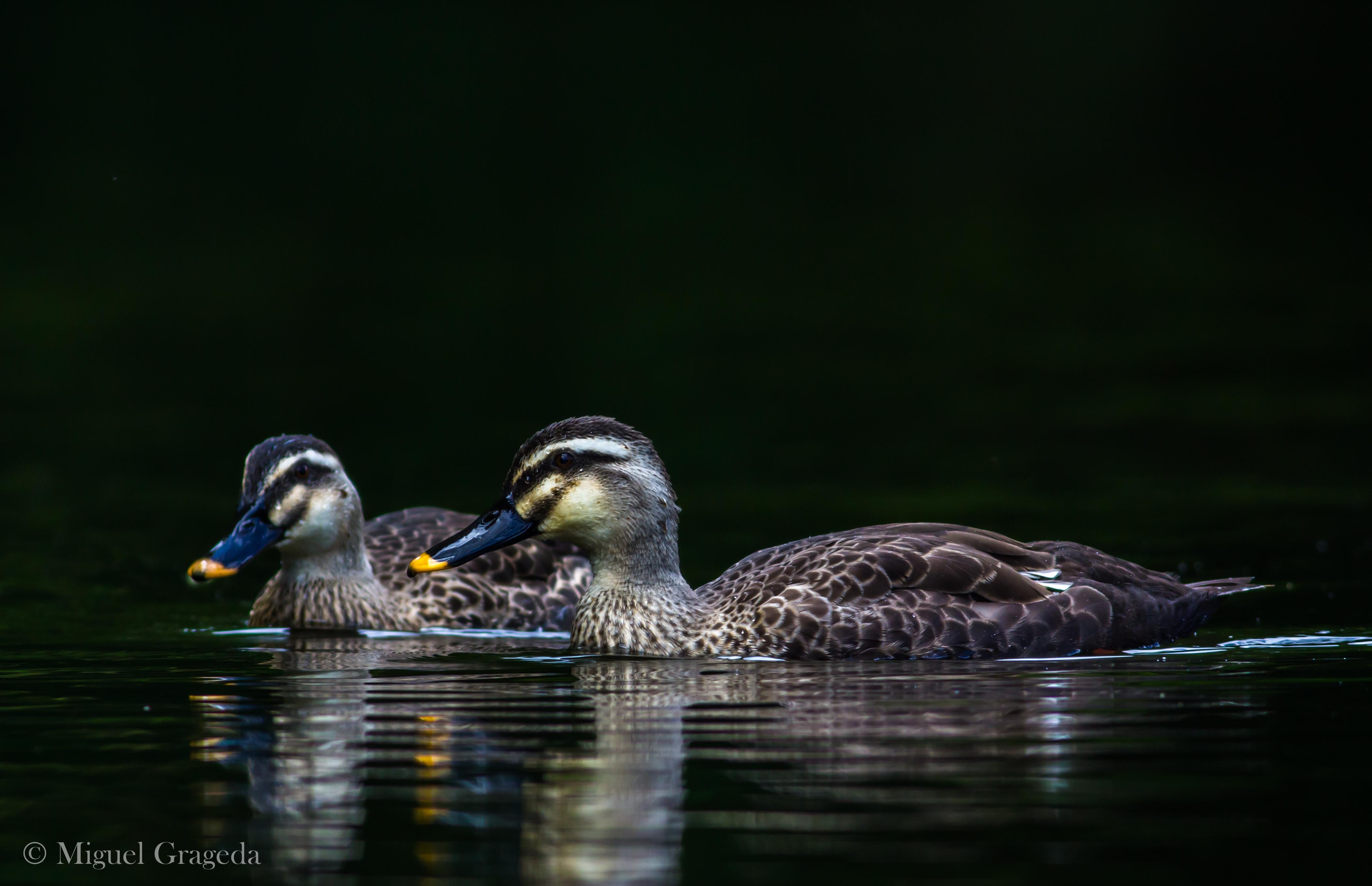 'Karugamo' ducks, Nagano, Japan