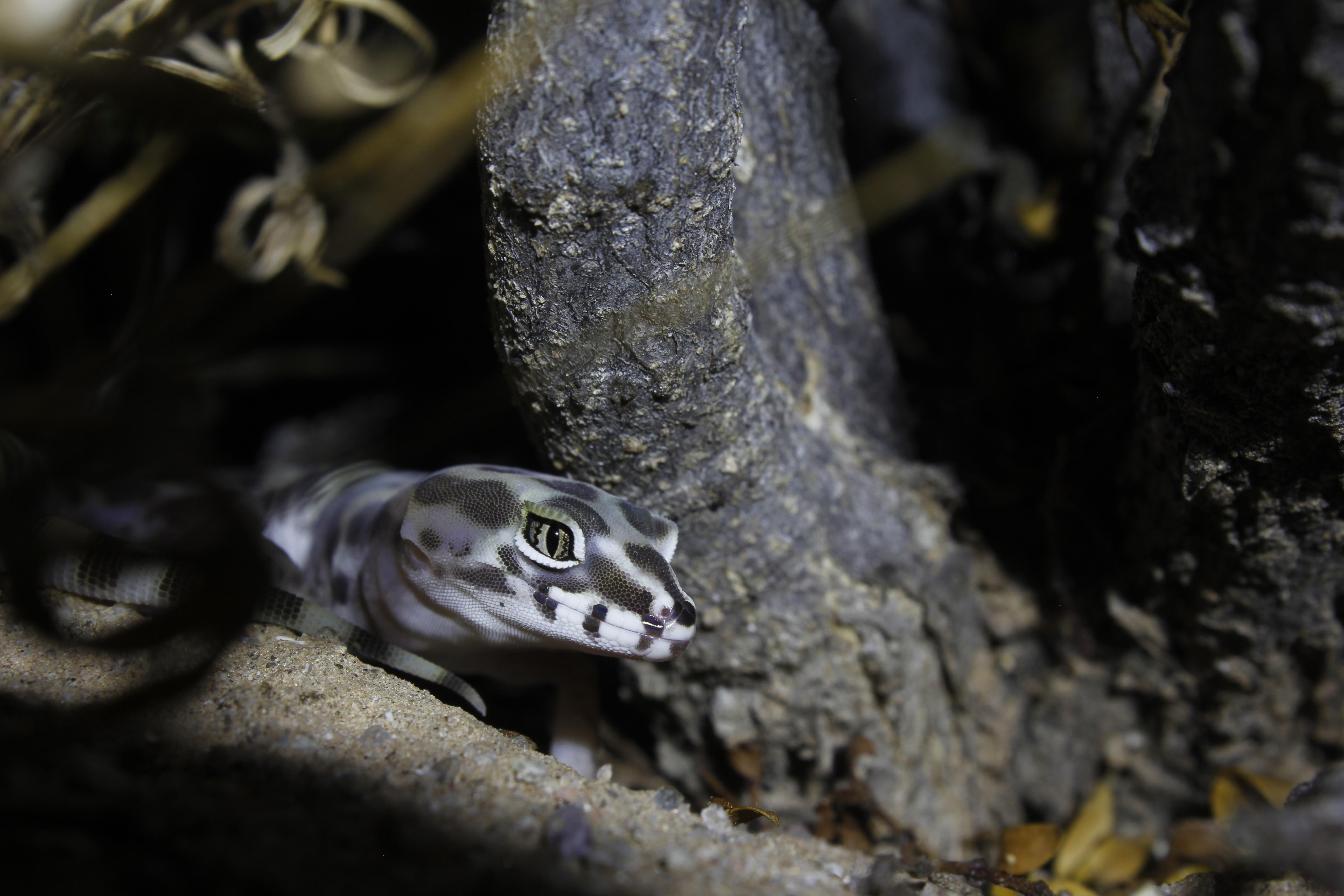 Gecko Bandeado, Pinacate, Son