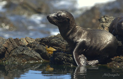 Cachorro Lobo California