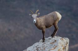Bighorn sheep_300dpi