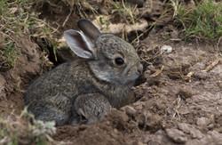 Conejos, Saltillo, COAH