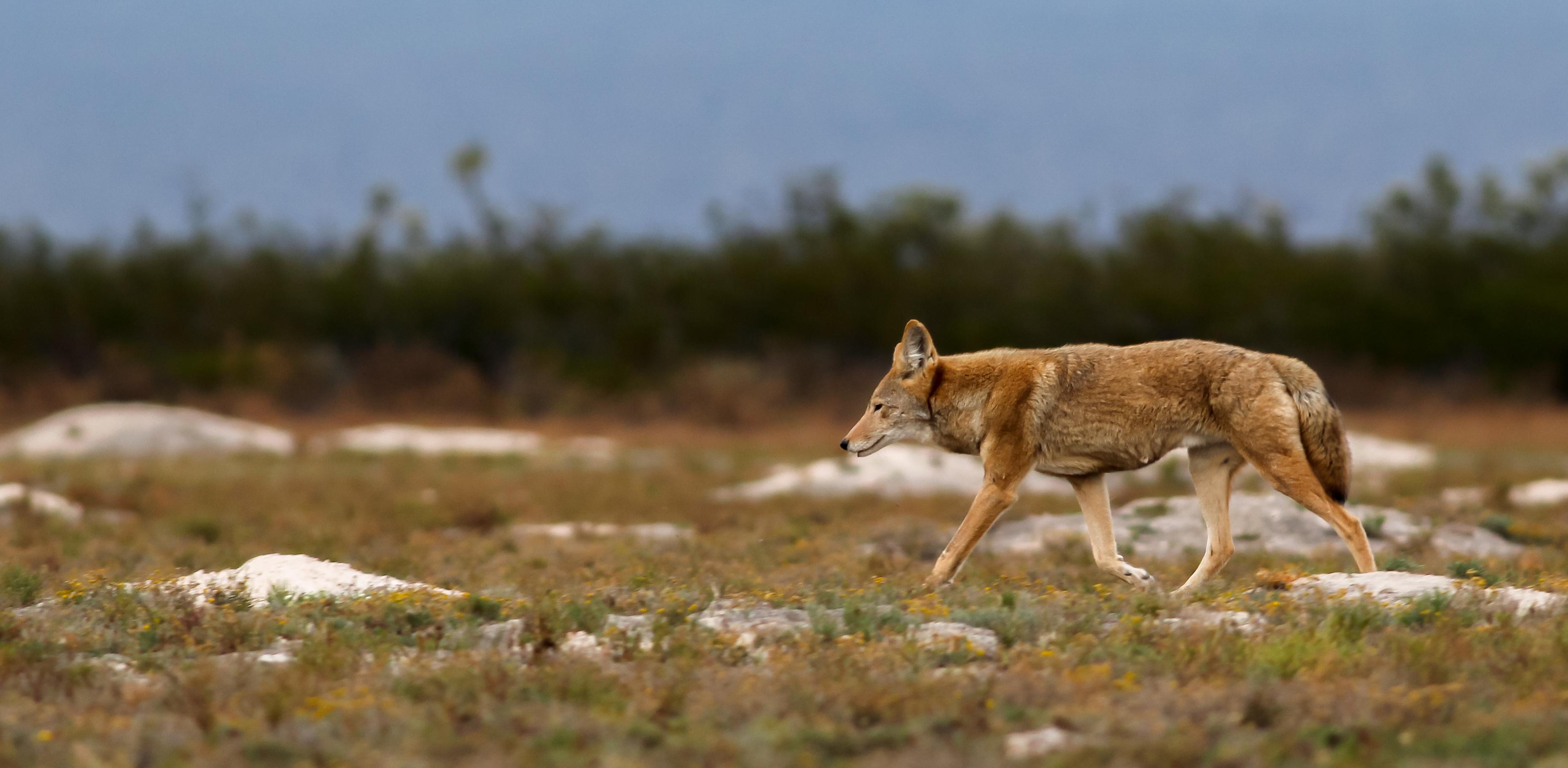 Coyote y madrigueras