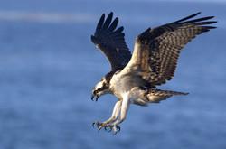 Águila Pescadora, I. San Benito, BC