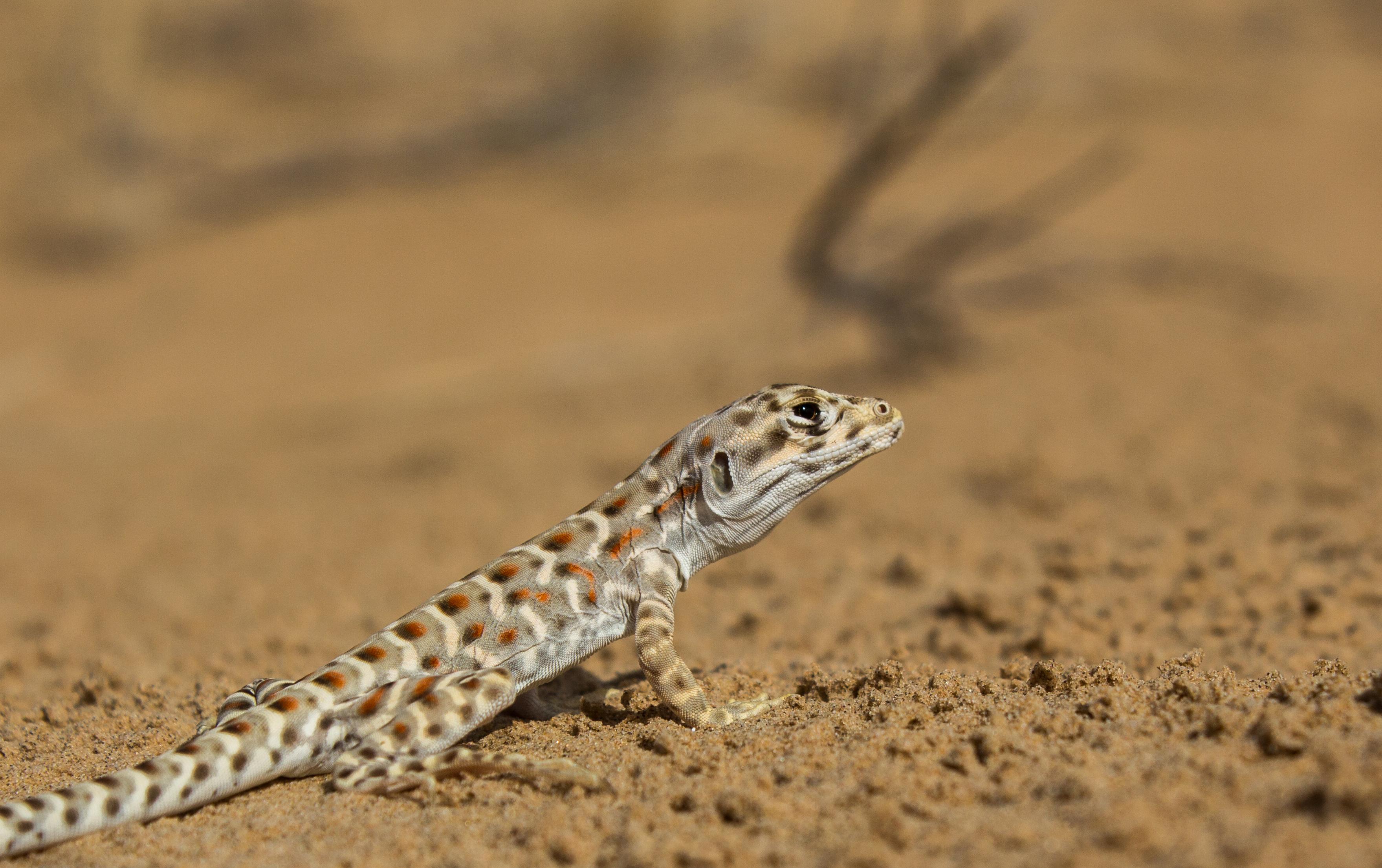 Lagartija leopardo, Pinacate, SON