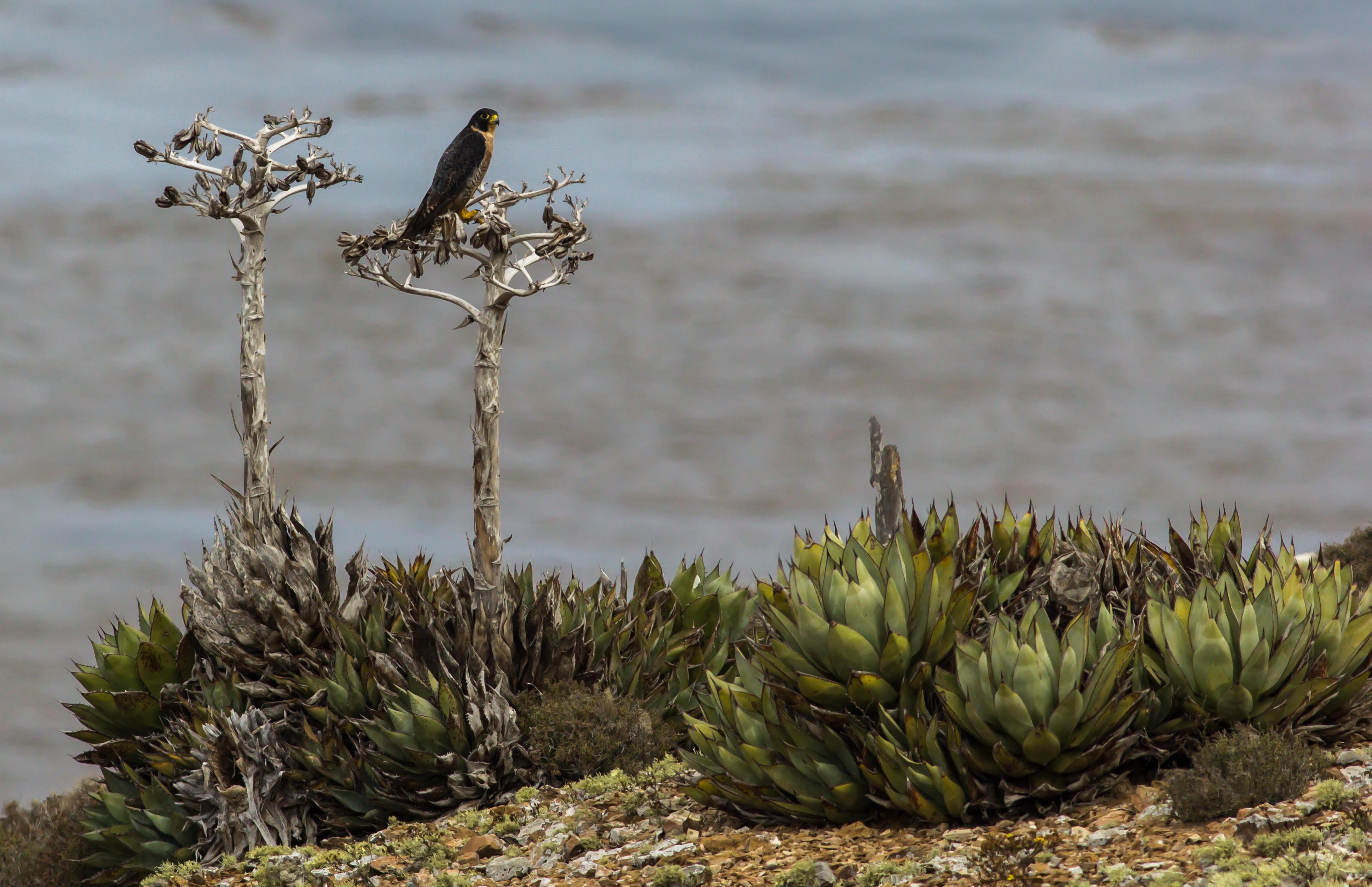 Halcón peregrino y agaves