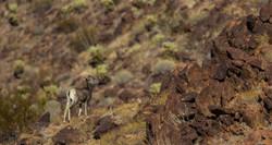 Cría borrego cimarrón, Sonora