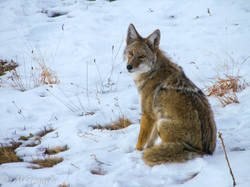 Coyote, Rocky Mountains, CO
