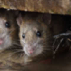 Two cute and curious Brown Rats looking