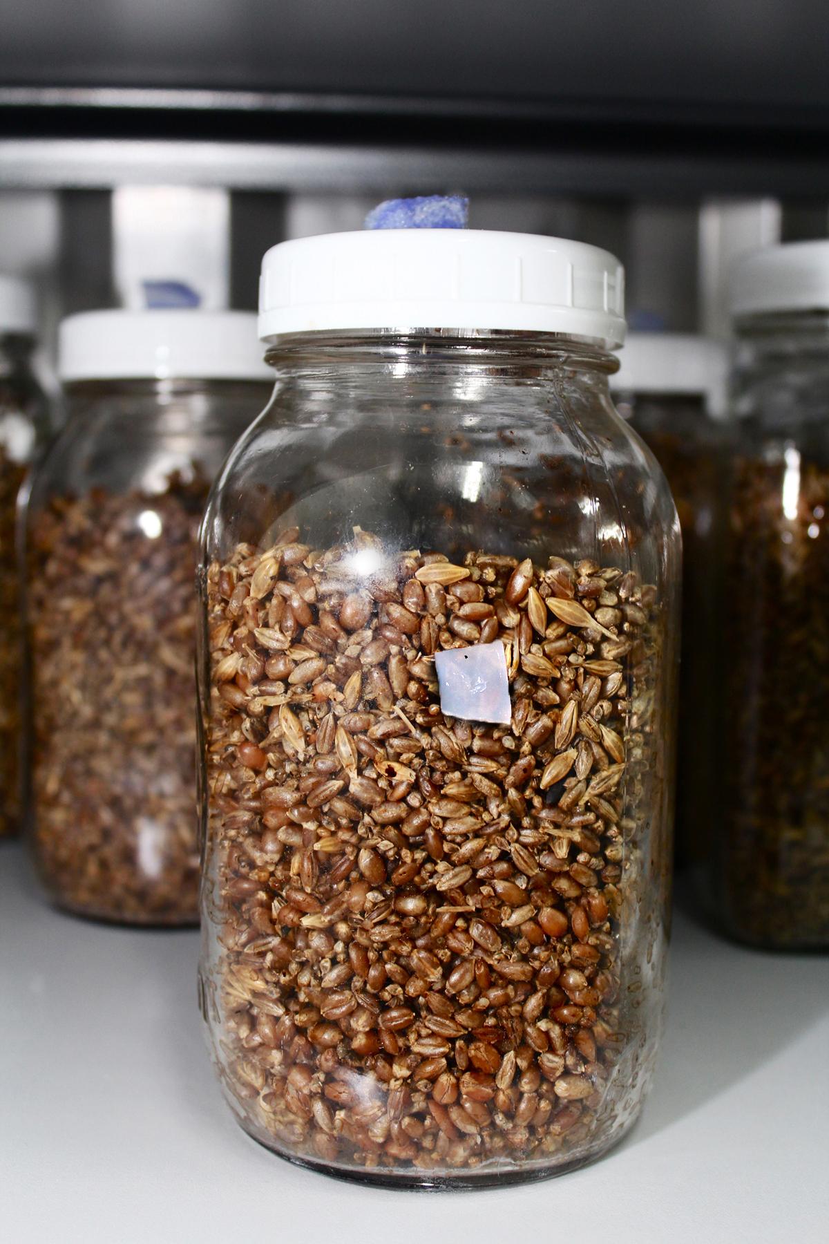 Mycélium sur grains