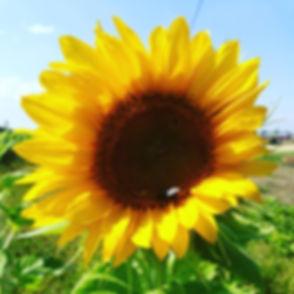 solsikke.jpg