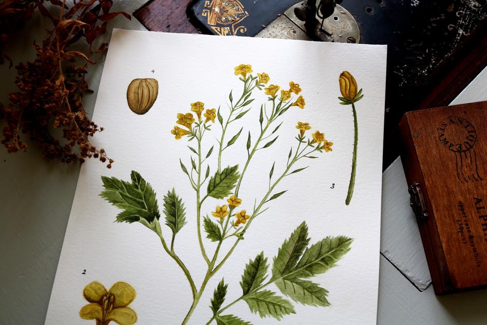 Antique Botanicals- Mustard