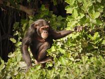 Chimpansee_edited.jpg