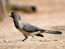 Western-grey Plantain-eater