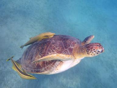 Groene zeeschildpad / Chelonia mydas