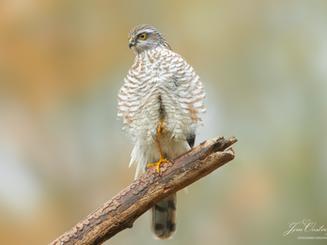 Sperwer / Accipiter nisus