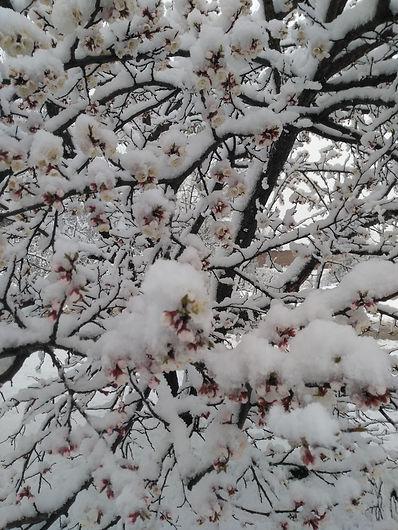Цветущий абрикос под снегом.jpg