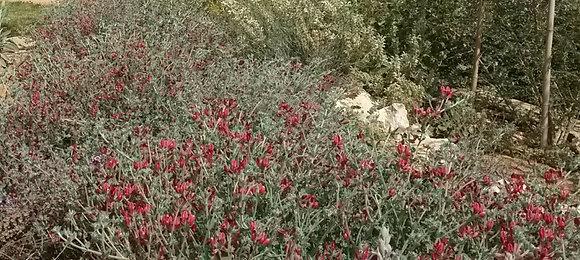 לוטוס המדבר