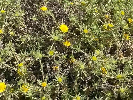 כוכב ריחני (Asteriscus graveolens)