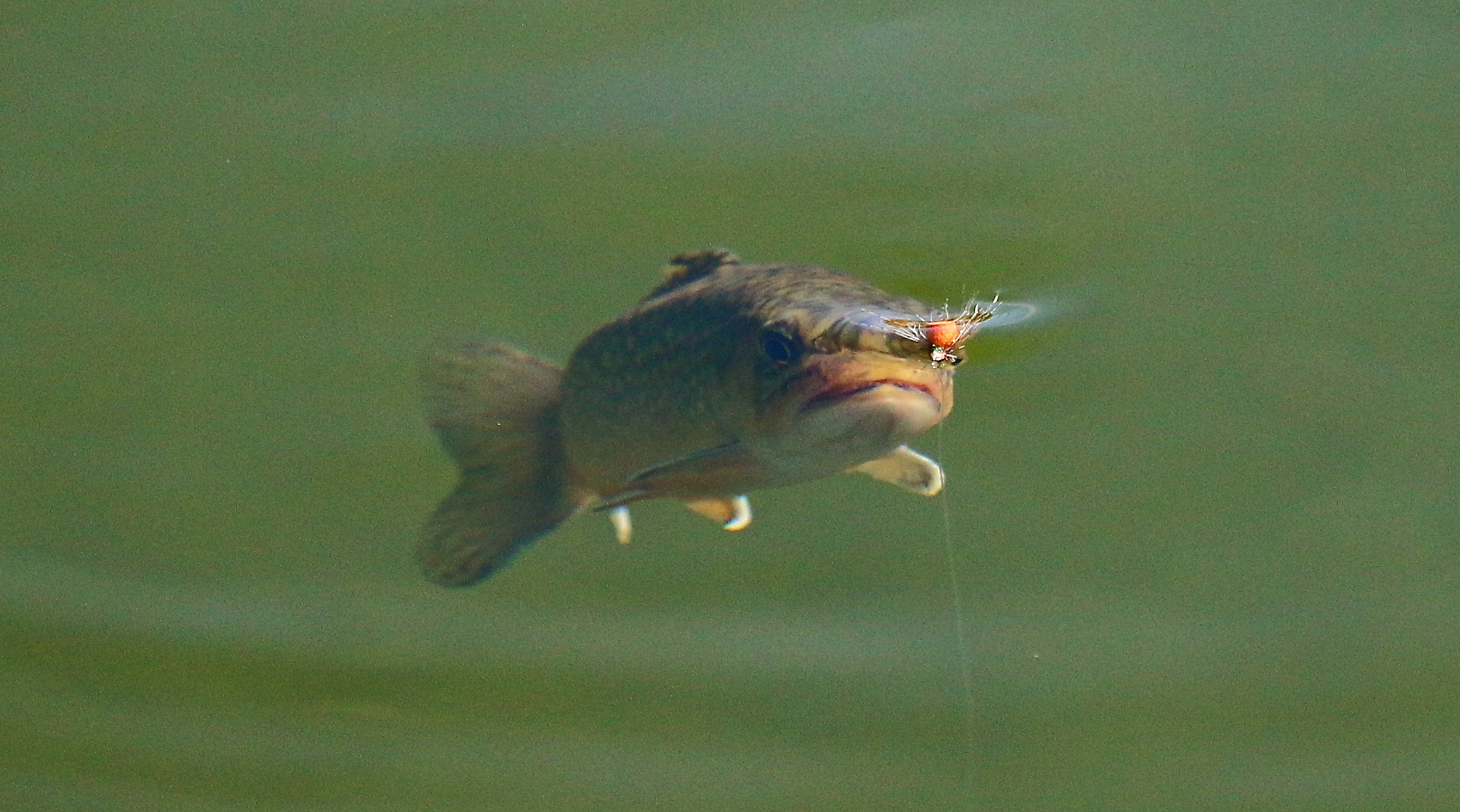 Bachsaibling Fischen Schweiz
