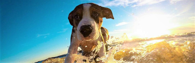 犬 サーフィン.jpg