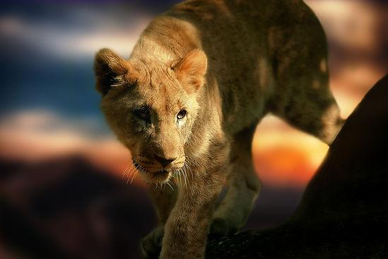 lion-cub-580906_1920.jpg