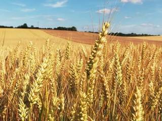 El trigo: posible causa de las cicatrices desmielinizantes que provocan la EM