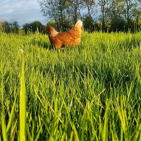 Our hens enjoy freedom of the farm, here