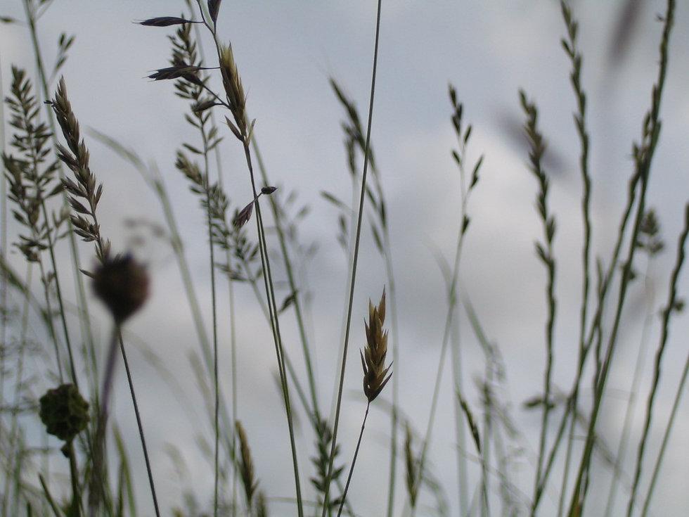 Grasses (2).jpg