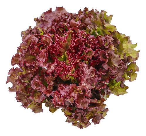 Salát Rosso 1ks