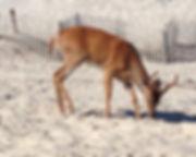 01 AndreaBass_1 Deer on the Beach.jpg