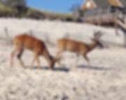 02 AndreaBass_2 Deer on the Beach.jpg