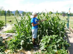 Colette checks the corn in the Good Sama