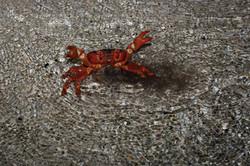Crab Spawning